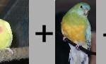 Papageienrechnung