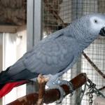 Der Zweck der Domestikation von Papageien
