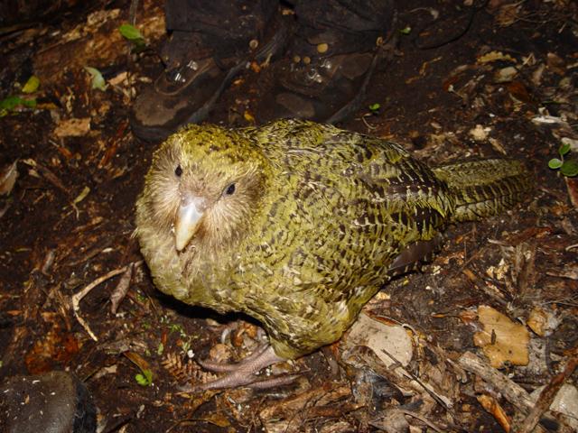 """2. Platz: der Kakapo - als """"hässliches"""" Tier?"""